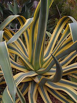 Planta de maguey agave o pita